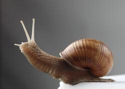 Land snail on a gray background