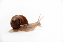 LAND SNAIL OVER WHITE BACKGROUND.