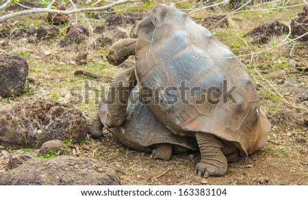 Land tortoise fertilization process on San Cristobal Island, Galapagos, Ecuador