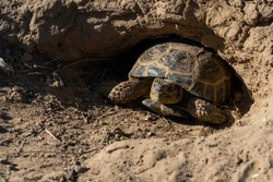 land turtle in the steppe. turtle crawling. The turtle is walking on the grass. cute little turtle, close up face