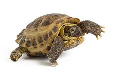 land turtle isolated on a white background