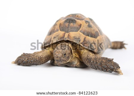 Land turtle isolated on white