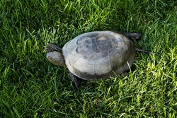 land turtle  moves in the grass. head, paws peep out of the shell. Skin, reptile eyes. Sunlight. The concept of wildlife, animal welfare, slow pace. Copy space.