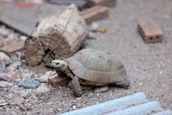 Land turtle waking on ground floor, Tortoise are reptiles of the order Testudines characterized by a special bony or cartilaginous shell developed from their ribs and acting as a shield.