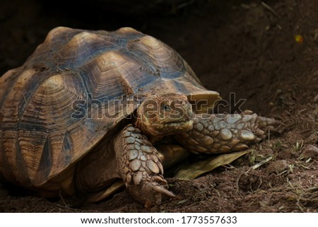 Land turtles more commonly known as tortoises