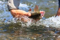 Landing A Cutthroat Trout