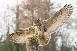 Landing of a Eurasian Eagle-Owl (Bubo bubo)  reaching out to perch on branch. Bokeh background. Noord Brabant in the Netherlands.