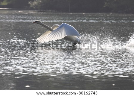Landing of a swan mute in france