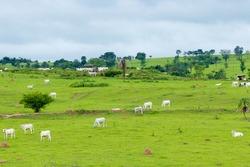 landscape - a green pasture in goiás