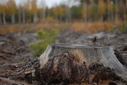 Landscape. A large old stump from a felled tree is on a blurred background of coniferous and deciduous forest. Tree cutting, forest industry, flora and fauna care, protection. World Environment Day.