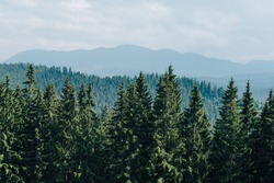 Landscape. Background. Spruce forest on a background of mountain landscape and sky. Copy space. Mountain landscape with coniferous forest