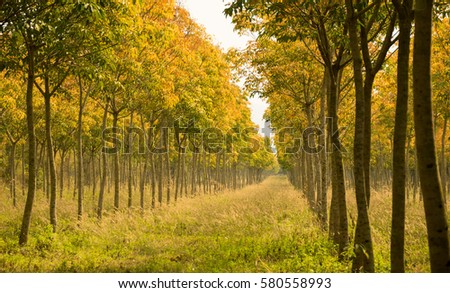 Landscape -  beautiful long Perspective rubber trees forest #580558993