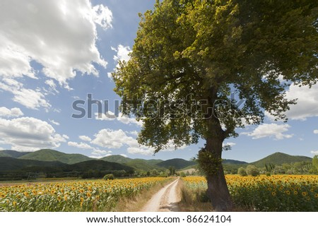 Landscape between Lazio and Umbria (Italy) at summer with sunflowers
