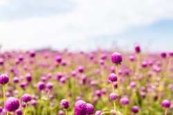 landscape bluesky pinkflower