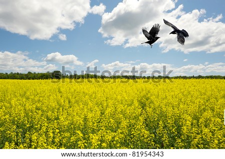 Landscape. Canola/Rapeseed  field  with a brilliant blue and cloudy sky with two ravens doing battle above.