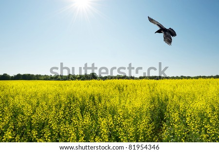 Landscape.  Canola Rapeseed field with a brilliant blue and sunny sky with a raven in flight.