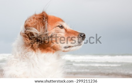 landscape composition portrait of red haired fluffy collie type dog with ears blowing in sea breeze at a beach in Gisborne, East Coast, North Island, New Zealand