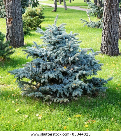 Ornamental Conifer Trees