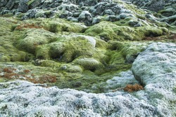 Landscape detail of volcanic rocks covered with iceland green moss and small plants of various colors. Icelandic fiel lava covered with green moss textures, natural light. Nature texture background.