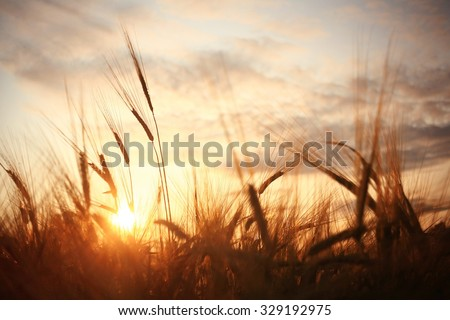 landscape fantastic sunset on the wheat field sunbeams glare