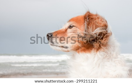 landscape format composition portrait of red haired fluffy collie type dog with ears blowing in sea breeze at a beach in Gisborne, East Coast, North Island, New Zealand