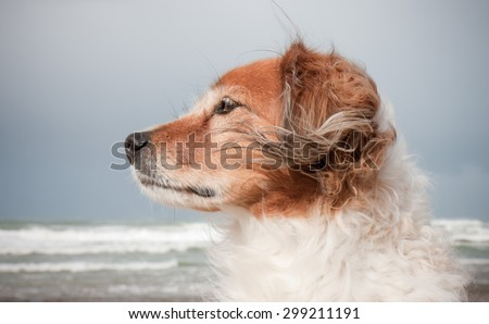 landscape format portrait of red haired fluffy collie type dog with ears blowing in sea breeze at a beach in Gisborne, East Coast, North Island, New Zealand