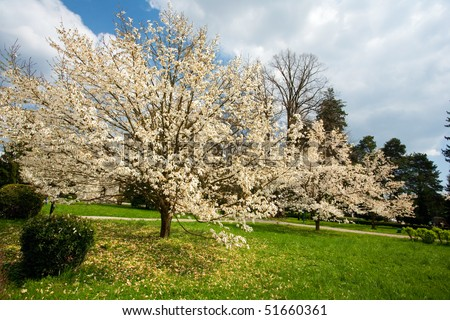 Landscape from a park with magnolia flower trees blooming