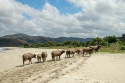 Landscape Herd Of Cows On Tropical Beach. Back Home