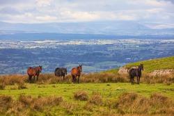 Landscape image of Horses on Moorland, Stainmore, Cumbria, England, UK.
