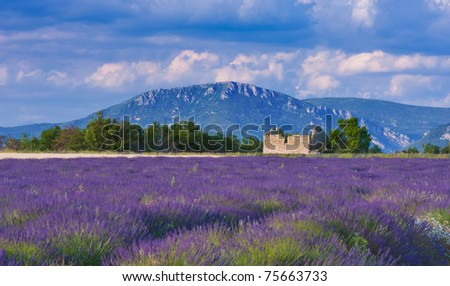 Landscape in Provence, France, with lavender field and an abandoned old barn during a windy afternoon