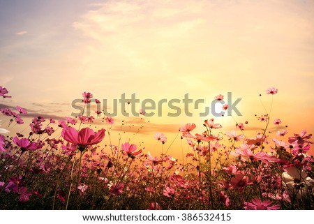 Landscape nature background of beautiful pink and red cosmos flower field with sunset. vintage color tone #386532415