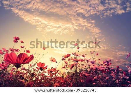 Landscape nature background of beautiful pink and red cosmos flower field with sunshine. vintage color tone #393218743