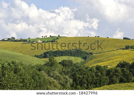 Landscape near Fermo (Marche, Italy) - Sunflowers and other cultivations #18427996
