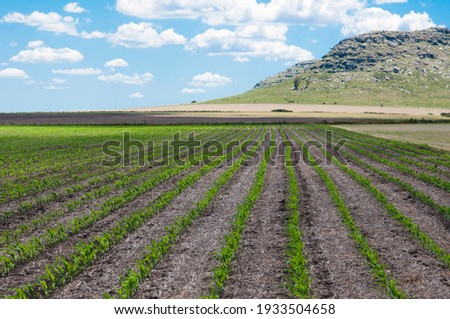 Landscape of a corn field in the Argentine pampas Photo stock ©