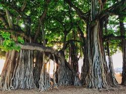 Landscape of a stunning and majestic banyan tree (Ficus, Fig tree) in Kapiolani Beach Park in Honolulu, Hawaii