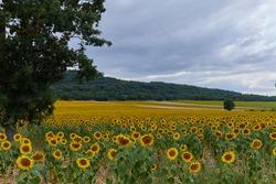 landscape of a sunflower farm in a mountainous passisaje of Burgos, Spain