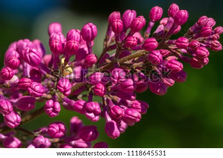 Free photos spring purple violet lilac flowers avopix landscape of a warm spring day lilac flowers a eurasian shrub or small tree mightylinksfo