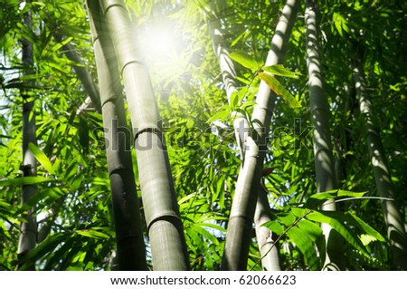 Landscape of Asian Bamboo forest with morning sunbeam.