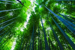 landscape of bamboo forest in Saga Kyoto Japan