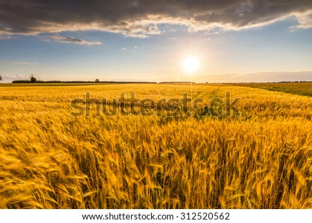 Landscape of corn field at summer. Beautiful polish countryside. #312520562