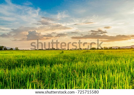 Landscape of cornfield and green field with sunset on the farm, Green cornfield and beautiful blue sky at local-city #725715580