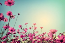Landscape of cosmos flower field with sunlight blue sky. vintage color tone