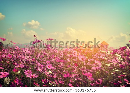 Landscape of cosmos flower field with sunlight. vintage color tone #360176735