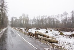 Landscape of cut area in woodland near the road with many big stumps in the background. Deforestation and logging concept