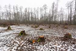 Landscape of cut area in woodland with many big stumps. Deforestation and logging concept