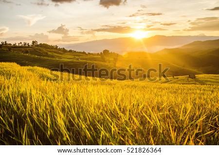 landscape of gold rice fields....