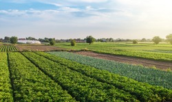 Landscape of green potato bushes plantation. Agroindustry and agribusiness. Wonderful european summer countryside landscapes. Growing food on farm. Aerial view Beautiful countryside farmland.