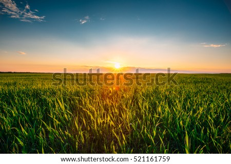 Landscape Of Green Wheat Field Under Scenic Summer Colorful Dramatic Sky In Sunset Dawn Sunrise. Skyline. Copyspace On Clear Sky. #521161759