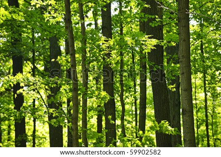 Landscape of lush young green forest with maple trees