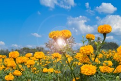 Landscape of marigold flowers with clouds and bluesky background. Soft and selective focus.